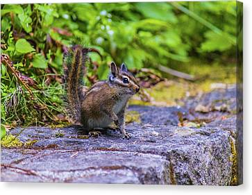 Canvas Print featuring the photograph Chipmunk by Jonny D