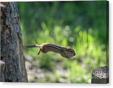 Chipmunk Jumping To Other Log Canvas Print by Dan Friend