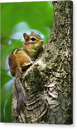 Chipmunk On A Limb Canvas Print by Christina Rollo