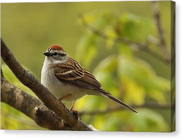 Chipping Sparrow In Sugar Maple Canvas Print