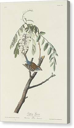 Chipping Sparrow Canvas Print by Rob Dreyer