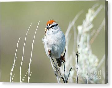 Canvas Print featuring the photograph Chipping Sparrow by Mike Dawson