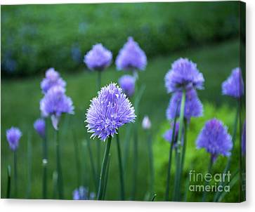 Chive Among Friends Canvas Print