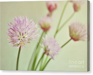 Chives In Flower Canvas Print by Lyn Randle