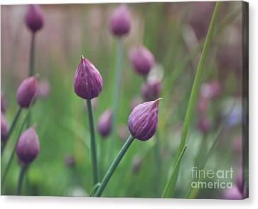 Chives Canvas Print by Lyn Randle