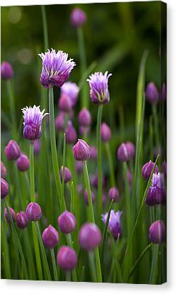Chives Canvas Print by Patrick Downey