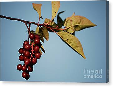 Choke Cherry Canvas Print