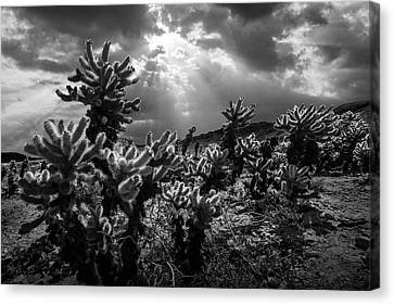 Canvas Print featuring the photograph Cholla Cactus Garden Bathed In Sunlight In Black And White by Randall Nyhof