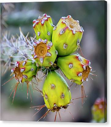 Canvas Print featuring the photograph Cholla Fruit S48 by Mark Myhaver