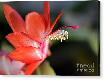Christmas Cactus 2016 Canvas Print by Karen Adams