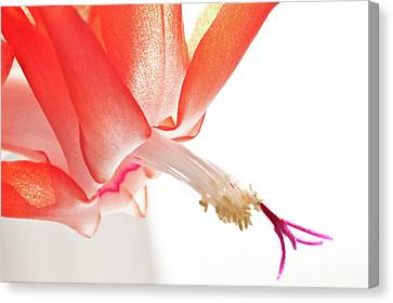 Christmas Cactus Flower Canvas Print by Christine Amstutz