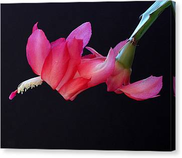 Christmas Cactus On Black Canvas Print by Farol Tomson
