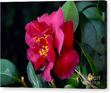 Canvas Print featuring the photograph Christmas Camellia by Marie Hicks