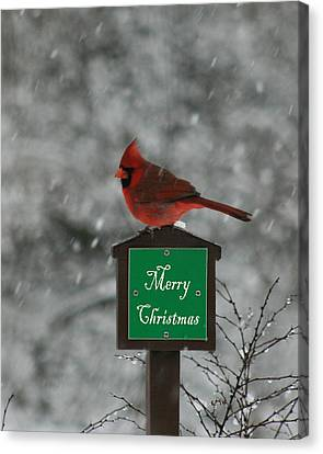 Christmas Cardinal Male Canvas Print