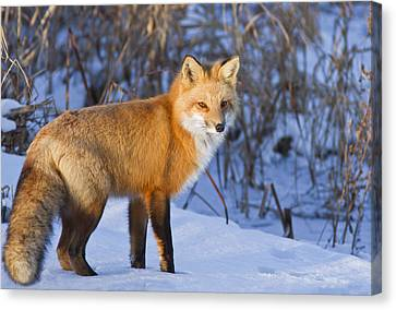 Christmas Fox Canvas Print by Mircea Costina Photography