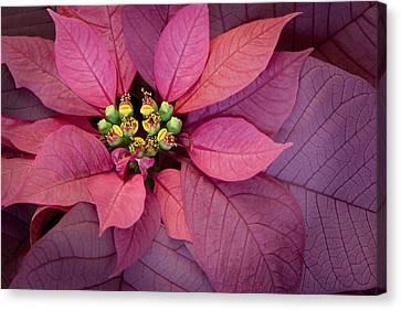 Barbara Smith Canvas Print - Christmas Poinsettia by Barbara Smith
