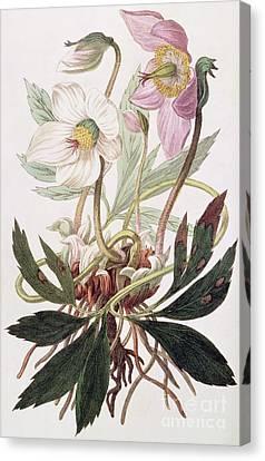 Christmas Rose Canvas Print