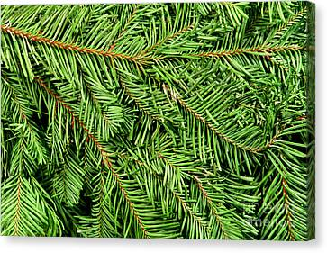 Christmas Tree Branch Background Canvas Print by Olivier Le Queinec