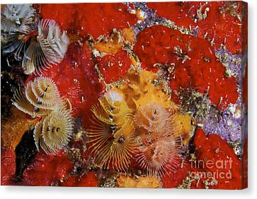 Christmas Tree Worms, Bonaire Canvas Print by Terry Moore