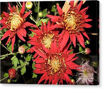 Chrysanthemum 2 Canvas Print by Padamvir Singh