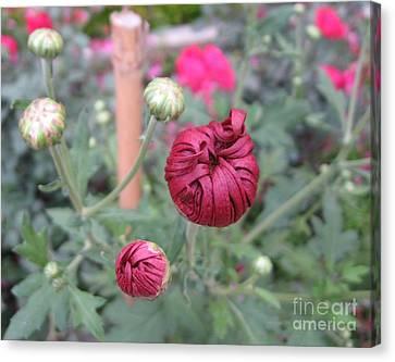 Chrysanthemum 21 Canvas Print