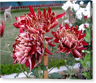 Chrysanthemum 4 Canvas Print by Padamvir Singh