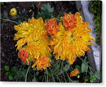Chrysanthemum 6 Canvas Print by Padamvir Singh