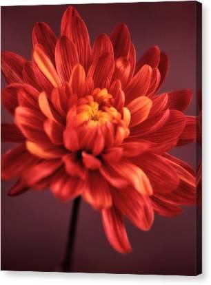 Chrysanthemum 7 Canvas Print by Joseph Gerges