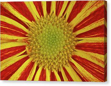 Chrysanthemum Close-up Canvas Print by Christine Amstutz