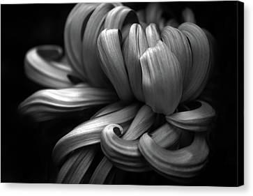 Chrysanthemum Curls Monochrome Canvas Print by Jessica Jenney