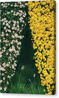 Chrysanthemum Curtains Canvas Print by Jessica Jenney