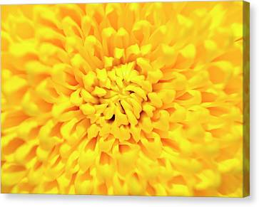 Chrysanthemum Canvas Print by Konstantin Bibikov