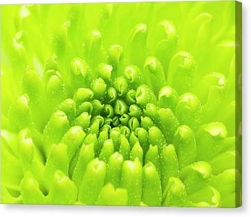 Chrysanthemum Macro Canvas Print by Wim Lanclus