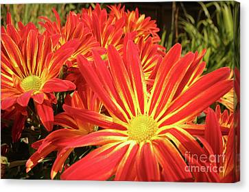 Chrysanthemums Canvas Print by Christine Amstutz