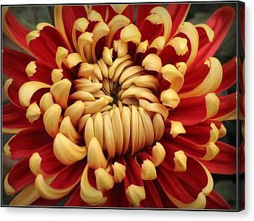 Chrysanthemum In Full Bloom Canvas Print