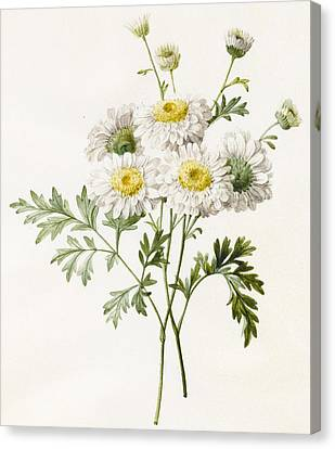 Daisy Canvas Print - Chrysanthemums by Louise D'Orleans