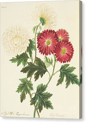 Red Leaf Canvas Print - Chrysanthemums by Margaret Roscoe