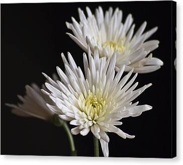 Chrysanthemums Canvas Print by Svetlana Sewell