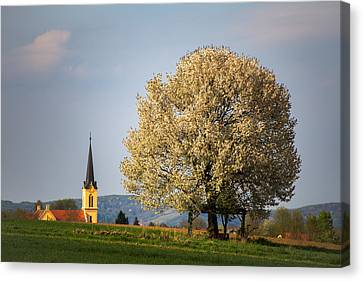 Church And Cherry Tree Canvas Print by Davorin Mance