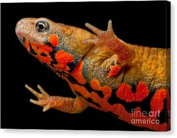Chuxiong Fire Belly Newt Canvas Print by Dant� Fenolio