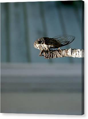 Cicada Canvas Print by Cathy Harper