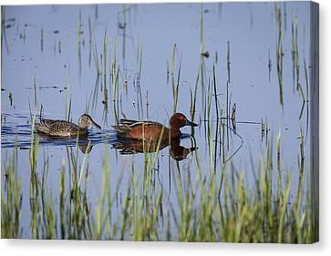 Cinnamon Teal Pair Canvas Print