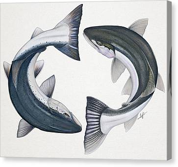 Circling Atlantic Salmon And Steelhead Canvas Print by Nick Laferriere