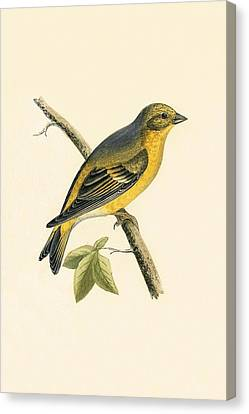 Citril Finch Canvas Print by English School