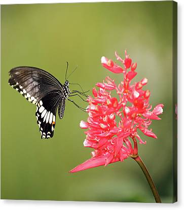 Canvas Print featuring the photograph Citrus Swallowtail by Grant Glendinning