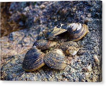 Clam Shells Canvas Print