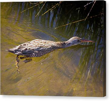 Clapper Rail Swimming Canvas Print