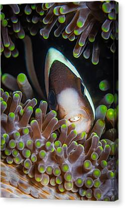 Clarks Anemone Fish Canvas Print