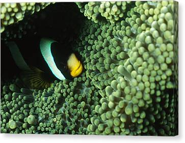 Clarks Anemonefish, Amphiprion Clarkii Canvas Print by James Forte
