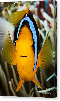 Clarks Anemonefish Face Canvas Print by Dave Fleetham - Printscapes